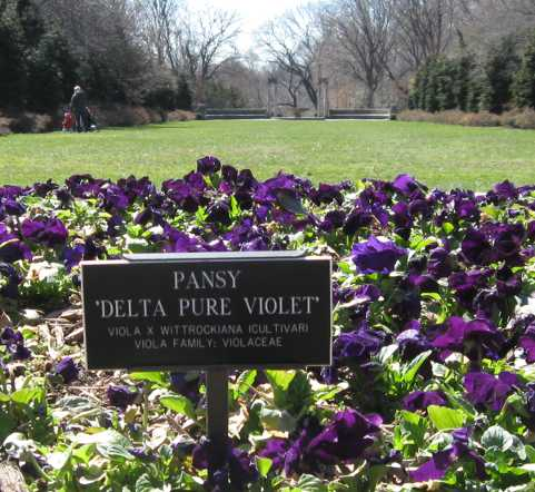 purple pansies!